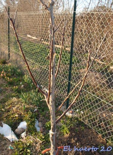 Podando los frutales de pepita en el creciente de marzo - Poda del cerezo joven ...