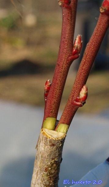 Injertando de p a al final del invierno el huerto 2 0 for Cuando podar cerezos y ciruelos