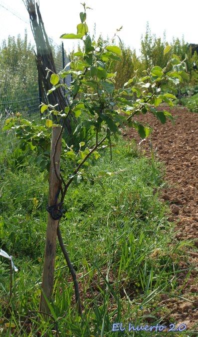 Florece el membrillo el huerto 2 0 - Arbol de membrillo ...