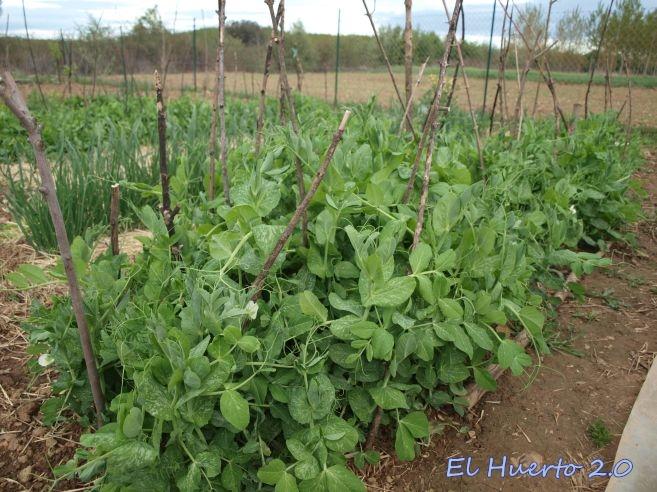 Cultivo de guisantes el huerto 2 0 for Siembra de habas y guisantes