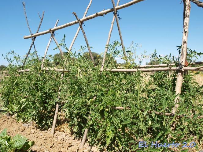 Tomates a mediados de julio el huerto 2 0 - Tutores para tomates ...