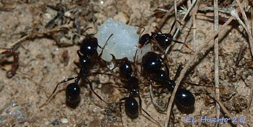 Hormigas negras viajando album completo 2007 prod by - Remedios caseros para eliminar hormigas en casa ...