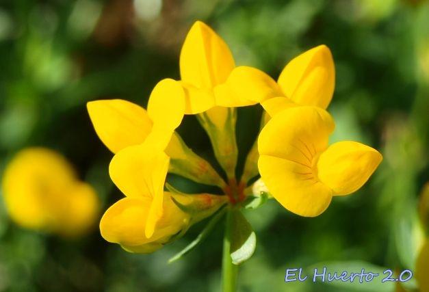 Cacahuetes en flor  El Huerto 20