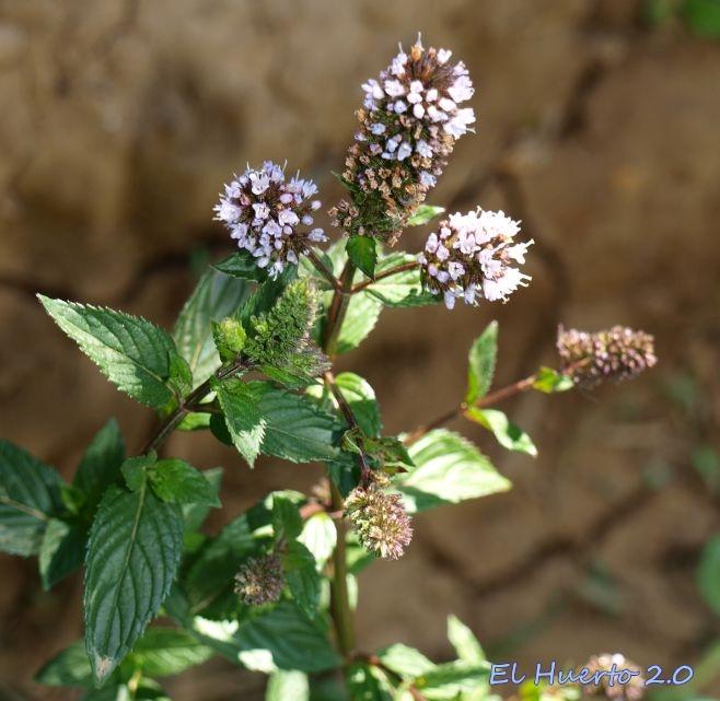 La flor y el lucifer chupando antes de aser el amor - 3 3
