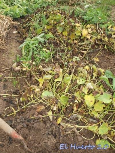 Un chasco con los boniatos el huerto 2 0 for Plantas beneficiosas para el huerto