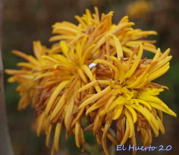 Crisantemo amarillo dorado