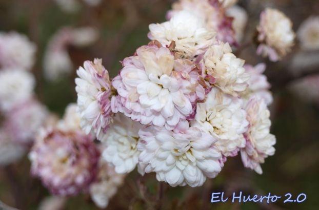 Crisantemo blanco pequeñp
