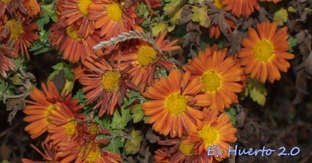 Crisantemo anaranjado