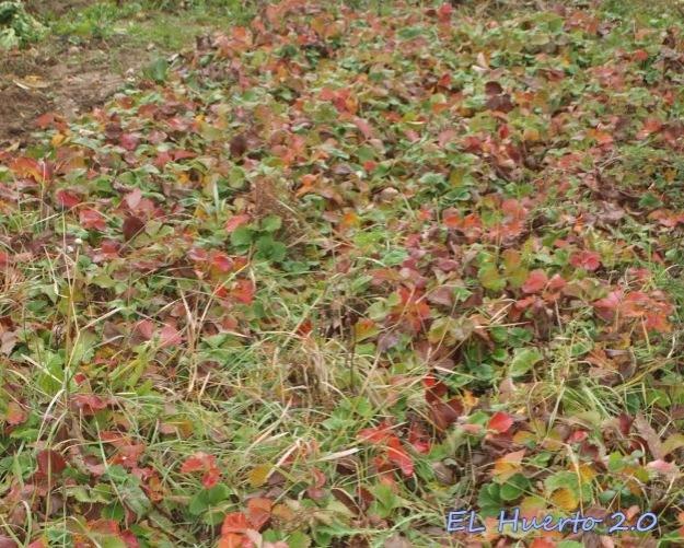 Fresas e hierbas
