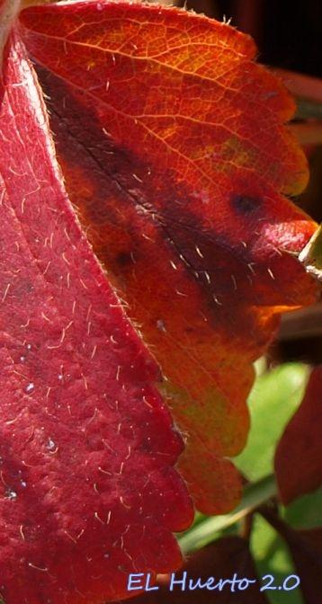 Detalle de los pelillos de las hojas