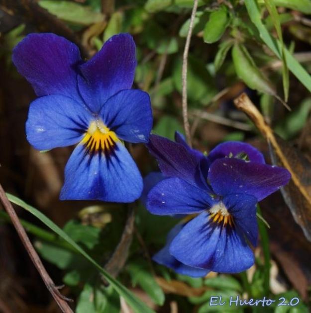 Pensamientos violeta