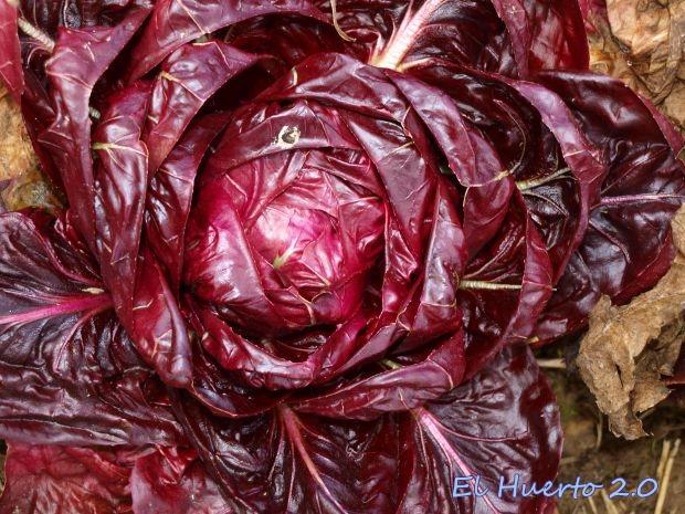 Achicoria roja de Verona