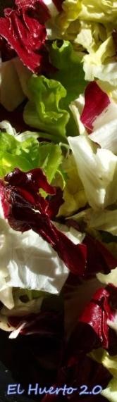Achicorias blanca y roja