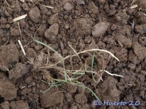 Raíces de grama