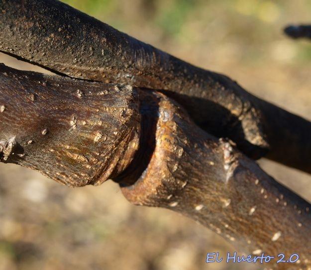 Huella profunda en rama de manzano