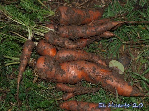 Zanahorias recién arrancadas