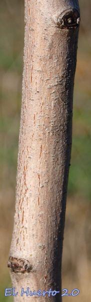Corteza de acerolo