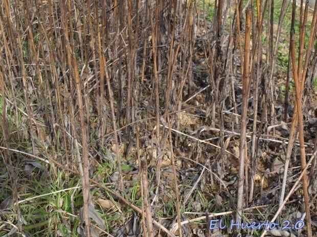 Cañas secas de las aguaturmas