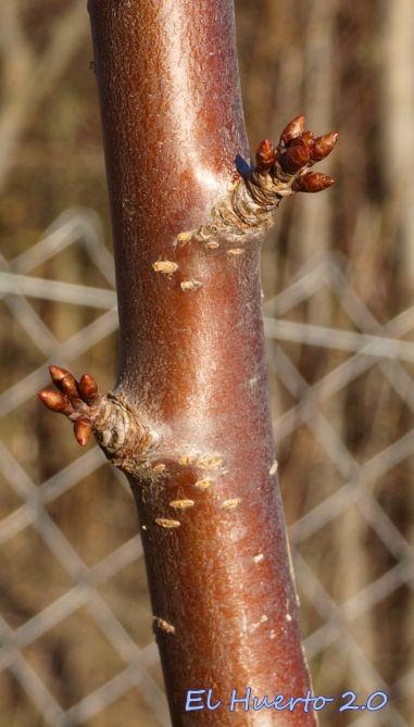 Corteza de cerezo