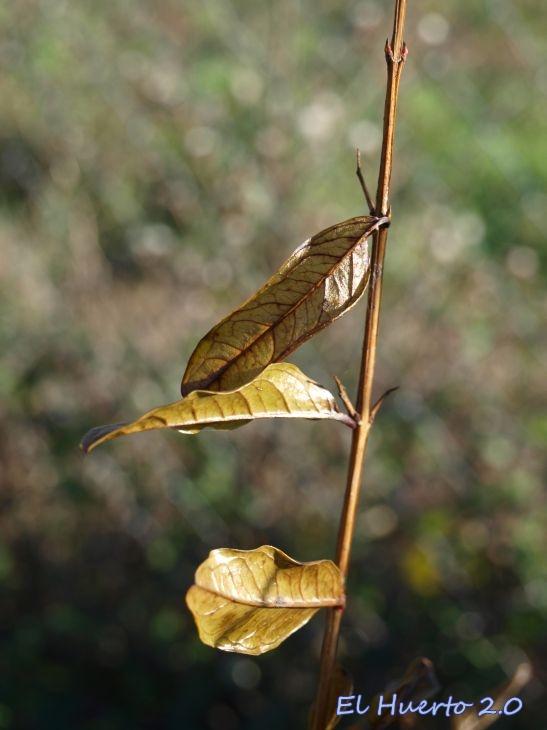 Hojas bronce  en el otoño