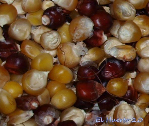 Semillas de maiz