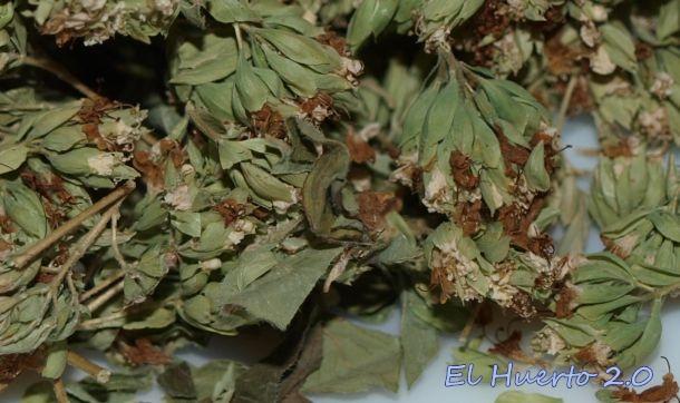 Flor de orégano