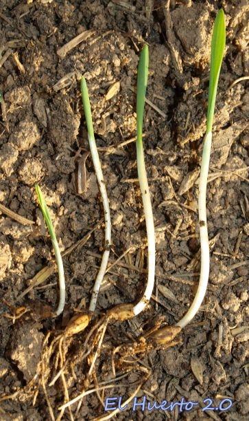 Diversas fases en el crecimiento de la semilla de cebada