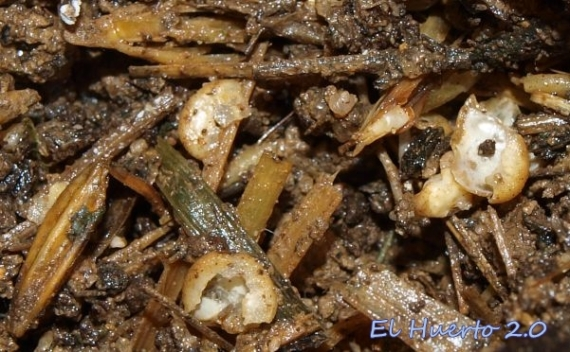 Semillas de pimiento roídas