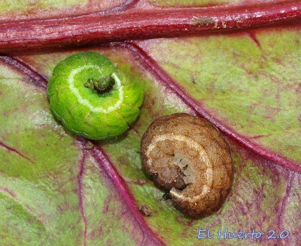 Entre las hojas de la remolacha