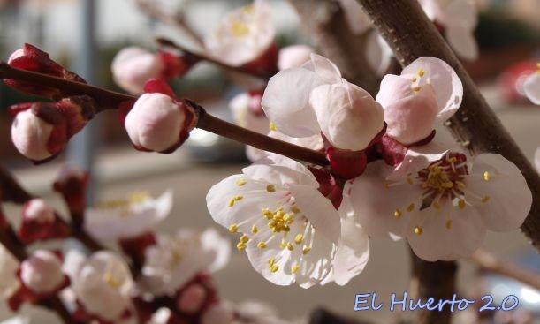 Albaricoquero en flor