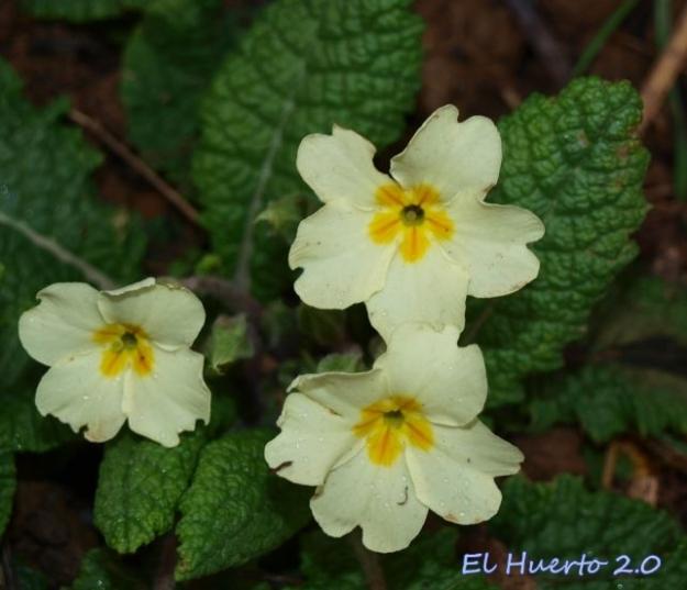 Detalle de las primeras de sus flores