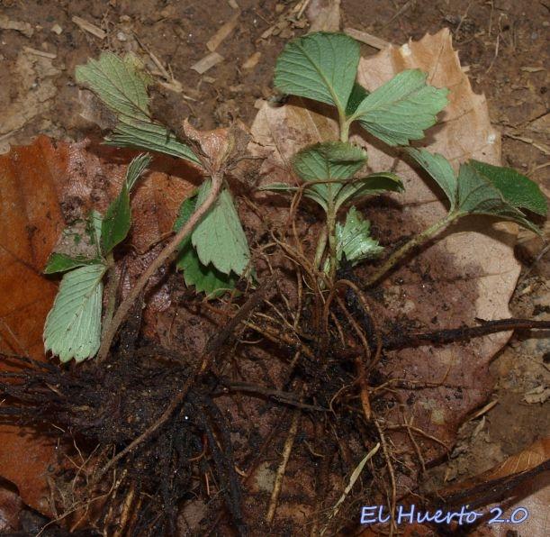 Plantas envueltas entre hojas de castaño