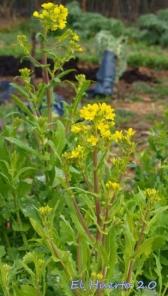 Tallos florales de las nabizas