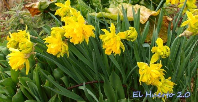 Tipos De Narcisos El Huerto 20 - Narcisos-amarillos