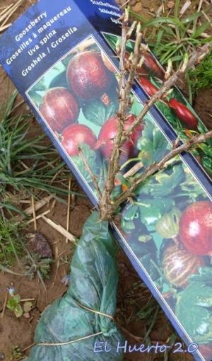 Nuevo ejemplar de  Ribes uvacrispa de bayas rojas