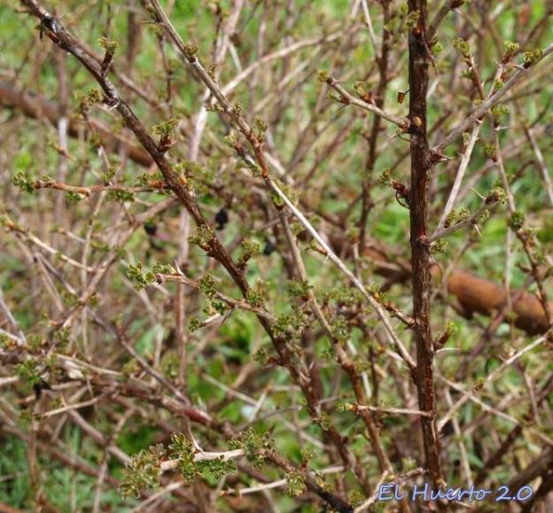 Plantas de Uva espina  de fruto verde sacando sus hojas
