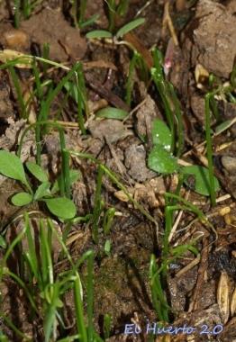 Plantulas de puerrro