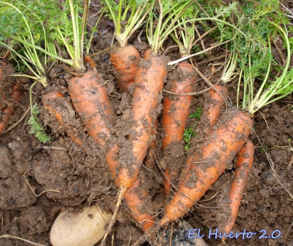 Zanahorias enbarradas