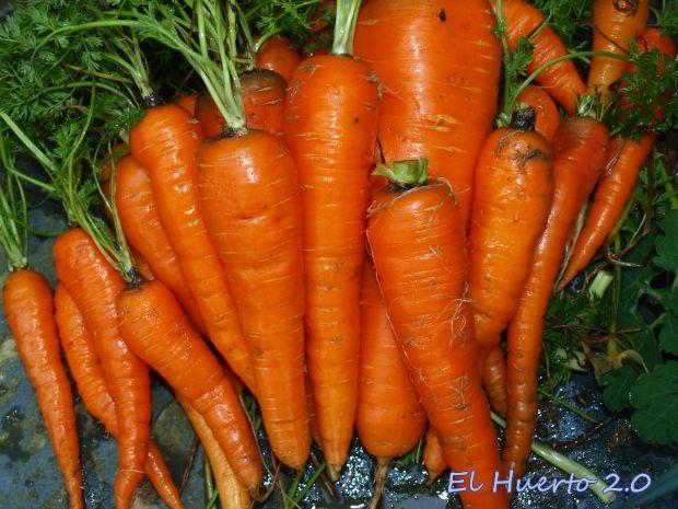 Zanahorias lavadas antes de ser llevadas a la cocina