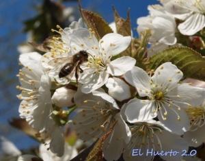Flor en los cerezos