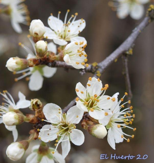 Flores  pentámeras