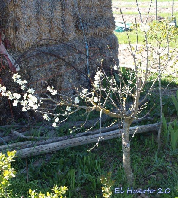 Ciruelo trasplantado ya grande  y rejuveneciéndose, con flor en las cañas viejas