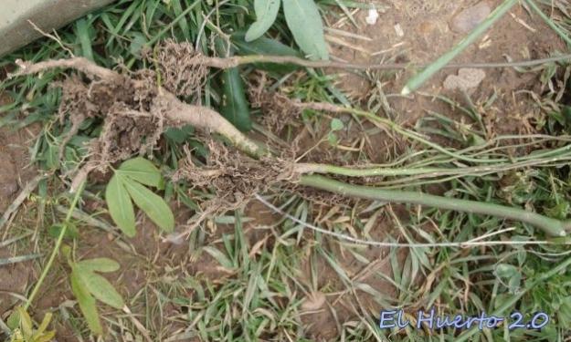 Detalles de las raíces