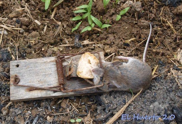 Eliminar ratones de campo elegant cool como eliminar ratas ratones y roedores with trucos para - Ratones en casa eliminar ...
