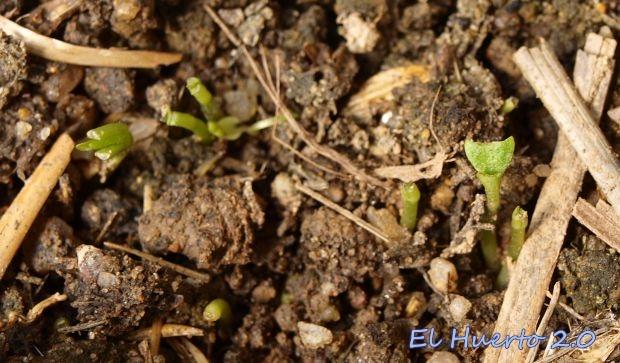 Restos de las plantitas de pimientos