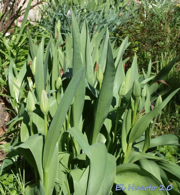 Tallos de los tulipanes en el jardín trasero
