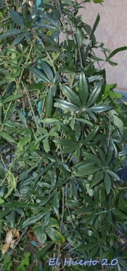 Passiflora caerulea en el jardín de casa
