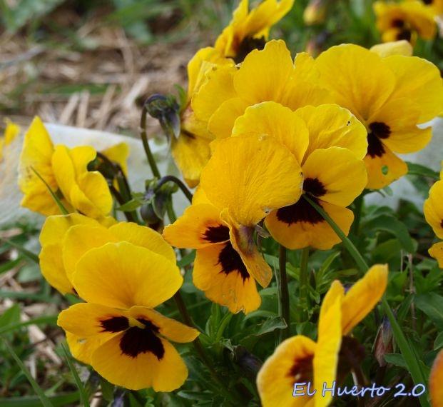 Viola Wittrockiana 'Karma Yellow'