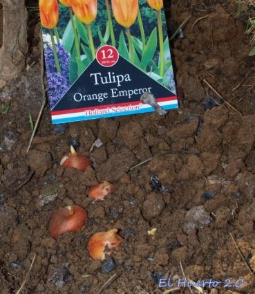 Plantando los bulbos con ceniza y humus