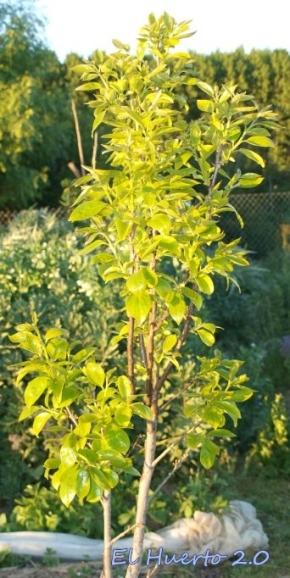 Persimón cubierto de hojas